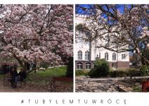 Magnolie w Kórniku - zdjęcie nadesłane przez Arboretum Kórnickie